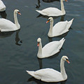 Galway Swans On The Claddagh by Deborah Squires