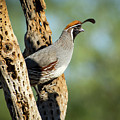 Gambels Quail On Cholla by Judi Dressler
