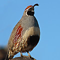 Gambel's Quail On Sunny Perch by Max Allen