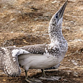 Gannet Chick 1 by Werner Padarin