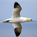 Gannet In Flight by Bob Kemp