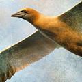 Gannet In Flight by WB Johnston