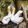 Gannet Passion by Tracy Munson