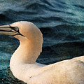 Gannet Swim by WB Johnston
