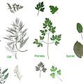 Garden Herbs by Tibi K