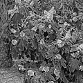 Garden Hydrangeas In Grayscale by Marian Bell