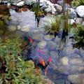Garden Koi Pond by Elaine Plesser