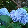 Garden Landscape Blue Hydrangeas Art Print Baslee Troutman by Baslee Troutman