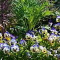Garden Pansies by Maria Urso