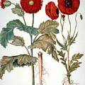 Garden Poppy by Granger