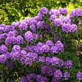 Garden Rhododendron by Lutz Baar