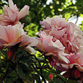 Garden Roses 2 by Kim Tran