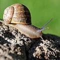 Garden Snail by Dennis Hammer