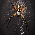 Garden Spider And Web by Tamyra Ayles