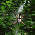 Garden Spider by Joshua Bales