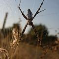 Garden Spider by Kimberly Mohlenhoff