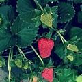 Ripening Garden Strawberries  by Missy  Brage