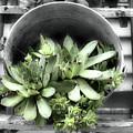 Garden Succulents Partial Color by Smilin Eyes  Treasures