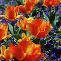 Garden With Blooming Yellow And Red Tulip Blossoms by DejaVu Designs