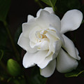 Gardenia - II by Kerri Ligatich