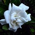 Gardenia 3 by J M Farris Photography