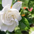 Gardenia by Adam Gladstone