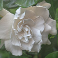 Gardenia Blossom by Teresa Wilson