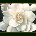 Gardenia by Darlene Green