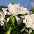 Gardenia Flowers by Sally Weigand