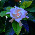 Gardenia Heart Warmth by Tim G Ross