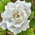 Gardenia  by Sandy Taylor