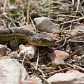Garter Snake On The Trail In The Pike National Forest Of Colorad by Steve Krull