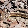 Garter Snake by Robert Nickologianis
