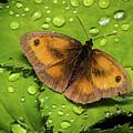 Gatekeeper Butterfly After The Rain. by Colin Allen