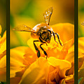 Gathering Pollen Triptych by Bob Orsillo