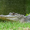 Gator 65 by J M Farris Photography
