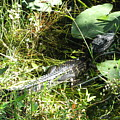 Gator Baby by Christiane Schulze Art And Photography
