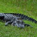 Gator by Carl Moore