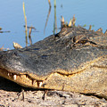 Gator Grin by Al Powell Photography USA