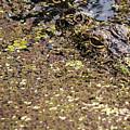 Gator In The Weeds by Karl Mahnke