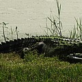 Gator by Judy  Waller