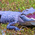 Gator Laugh by David Call