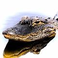 Gator Profile Reflection by Sheri McLeroy
