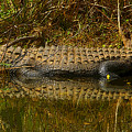 Gator Relection by David Lee Thompson