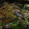 Gator Swamp by Joseph G Holland