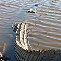 Gator Tail by Al Powell Photography USA