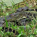 Gators 11 by J M Farris Photography
