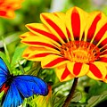 Gazania And Blue Butterfly by G Berry