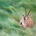 Gazelle In The Grass by Joshua Martin