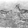 Gazelles by Rodolfo Cordoba